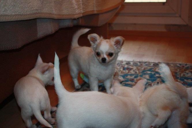 Chihuahua Austria Welpen