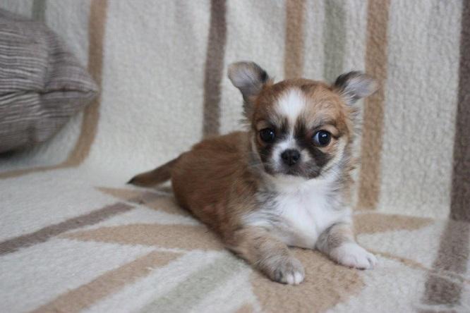 Chihuahua Welpen Zu Verschenken Wien Malteser Yorki Und Chihuahua Welpen Zu Verkaufen In Wien Von Privat 2020 01 28